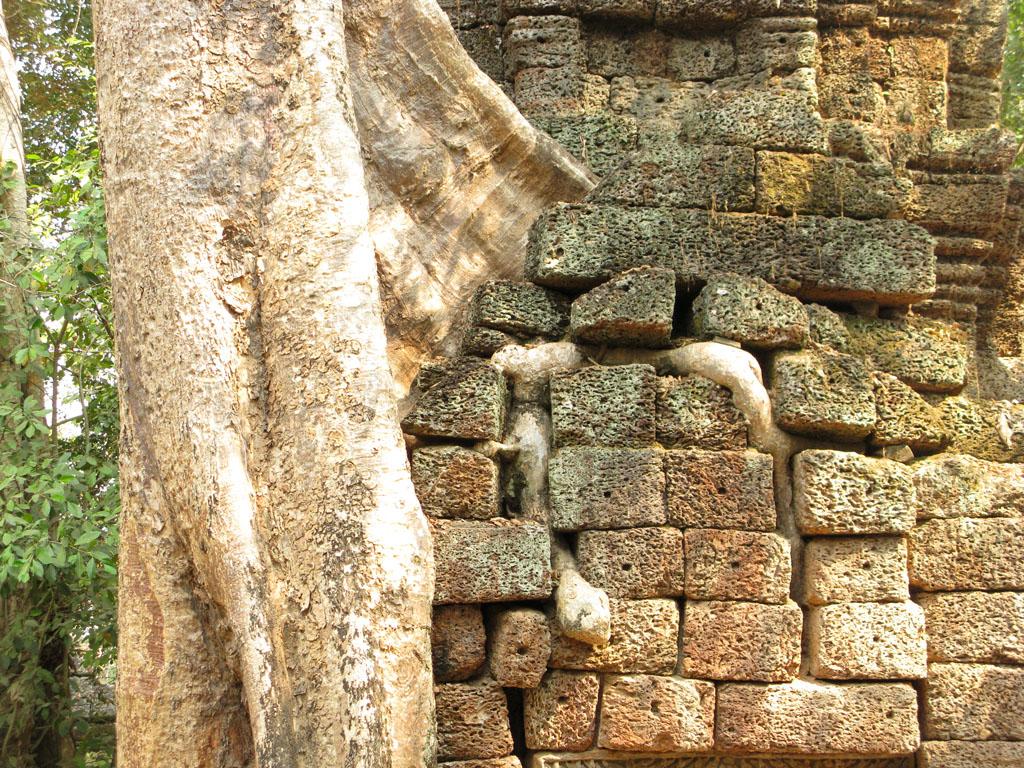 Хлопковое дерево в Ангкор Вате