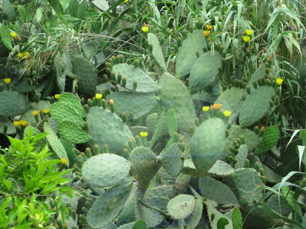Съедобный кактус. Тунис.